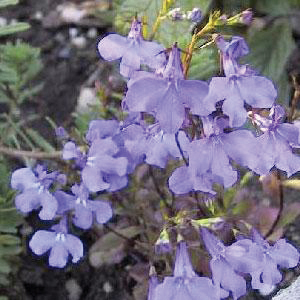 2466000 LOBELIA  CRYSTAL PALACE LOG AS