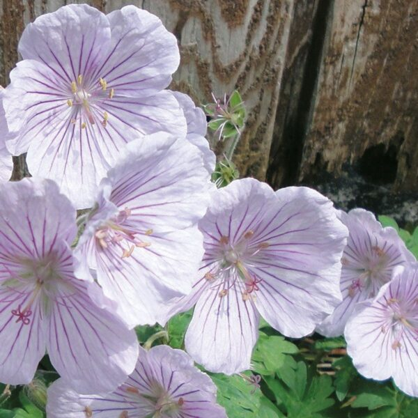 15301301 GERANIUM HIMA. DERRICK COOK LOG AS