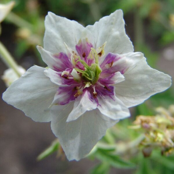 15301401 GERANIUM PRA. DOUBLE JEWEL LOG AS