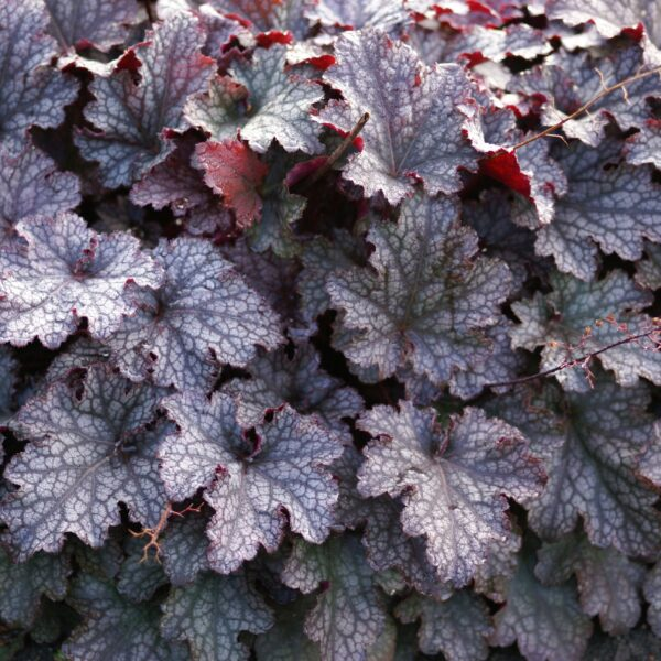 16203601 HEUCHERA PLUM PUDDING LOG AS