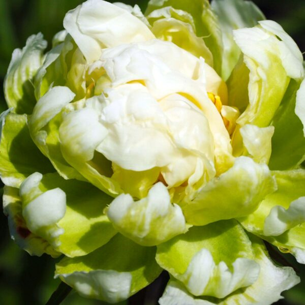 18801702 PAEONIA LACT. GREEN HALO LOG AS